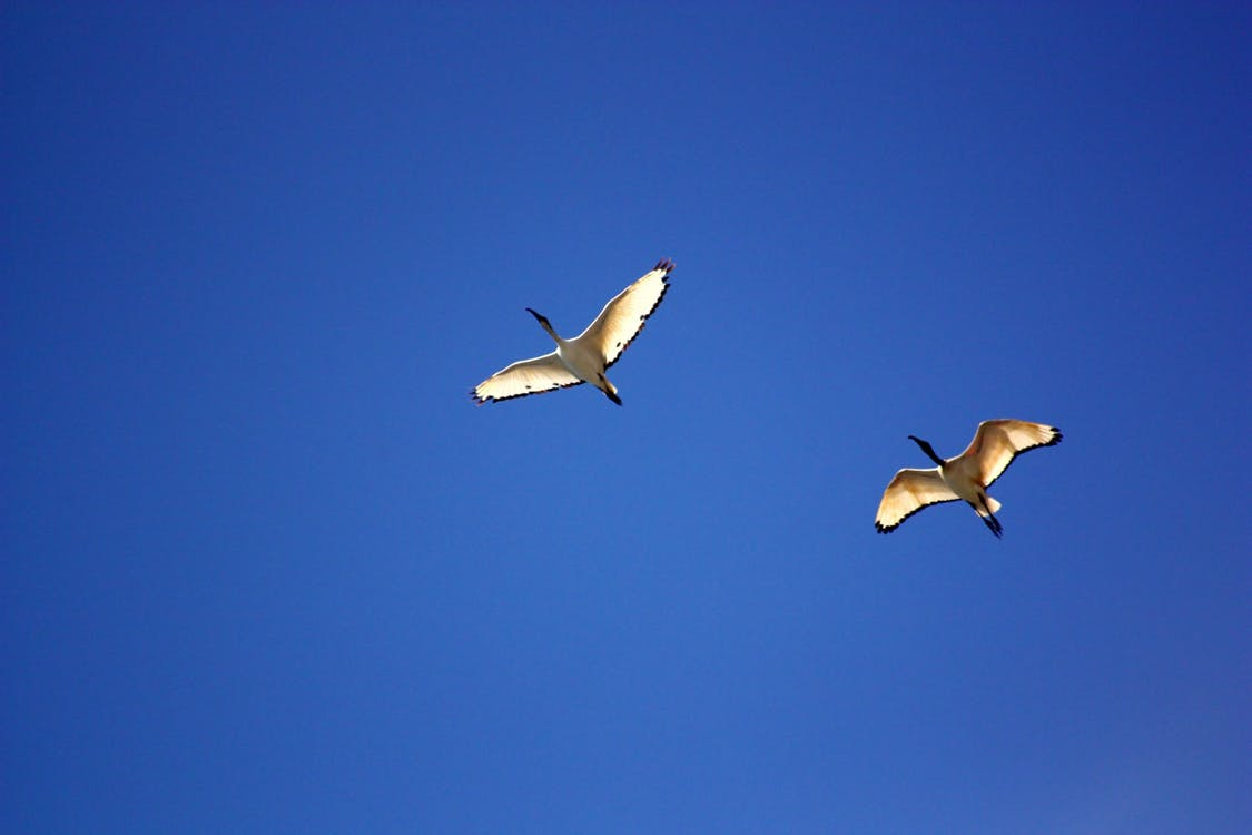 bird-birds-ibis-flight-55817.jpeg
